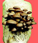 Grow Organic Oyster Mushrooms