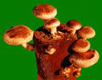 Grow Organic Shiitake Mushrooms